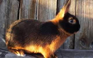 Огненный кролик: характеристики породы, правила разведения, составление рациона