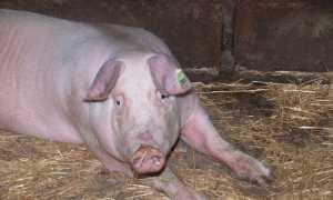 Причины появления глистов у свиней и поросят, правила лечения и меры профилактики