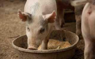Основные правила откорма свиней, выбор полезных продуктов, разновидности корма