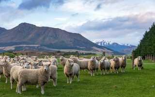Основные преимущества овцеводства как бизнес: правила разведения животных, выбор породы