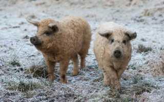 Венгерская порода Мангалица: преимущества и недостатки, правила содержания свиней, особенности размножения