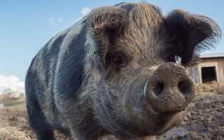 Как правильно почистить свиные кишки: пошаговое описание технологии, необходимые инструменты