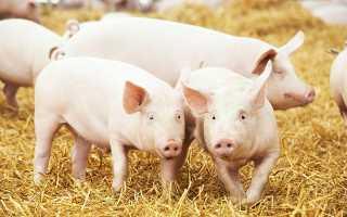 БМВД: польза для свиней, их основные преимущества, правила применения