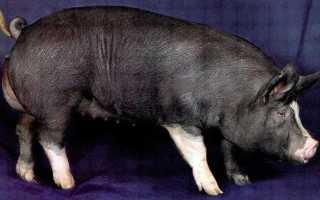 Беркширская порода: преимущества и недостатки, правила содержания свиней, рекомендации по составлению рациона