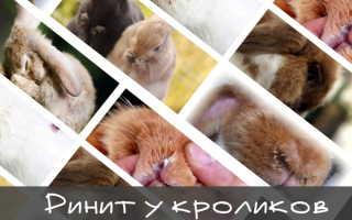 Ринит у кроликов: правила лечения, меры профилактики