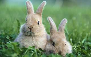 Определение пола у кроликов, отличия самки от самца