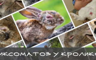 Миксоматоз у кроликов: симптомы заболевания, меры профилактики