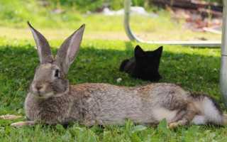 Характерные особенности и специфика разведения кроликов породы Серый Великан