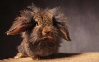 Львиноголовыйкролик: правила ухода за питомцем, составление рациона