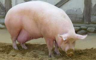Опорос свиней: сроки вынашивания поросят, правильная подготовка к родам, уход за приплодом