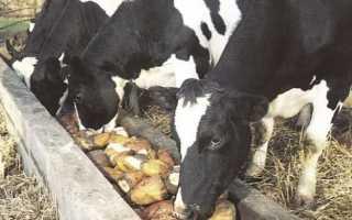 Можно ли кормить корову сахарной свеклой: правила составление рациона, польза корнеплода для КРС