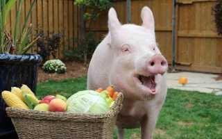 Кормление свиней: правила составления рациона, виды корма, обработка продуктов