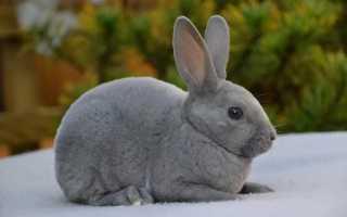 Характеристики, виды и особенности разведения кроликов Рекс