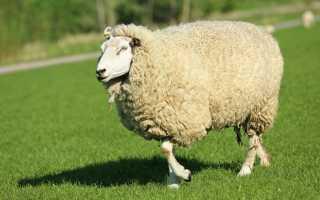 Описание Куйбышевской породы овец, правила ухода, преимущества и недостатки