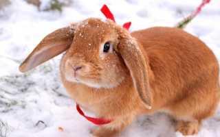 Уход и содержание кроликов породы Вислоухий баран