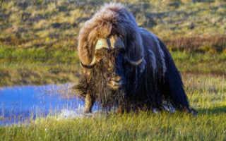 Овцебык (мускусный бык): где обитает, интересные факты, внешний вид животного