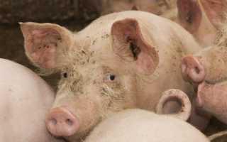 Причины появления цистицеркоза у свиней, первые симптомы и методы лечения