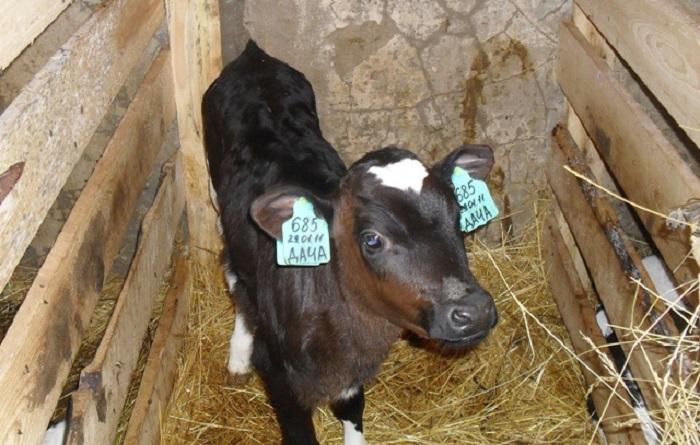 корова Дача