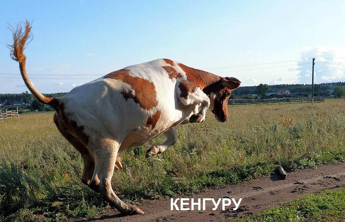 корова Кенгуру