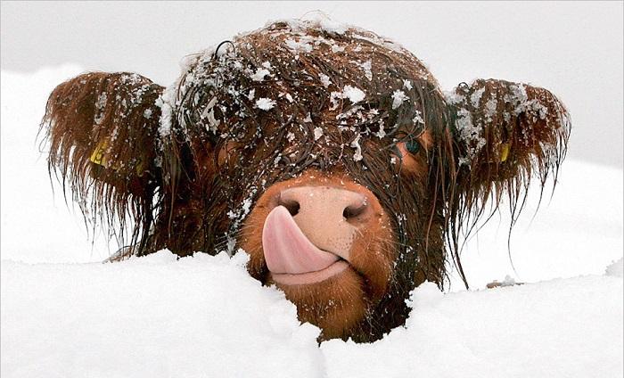корова в снегу