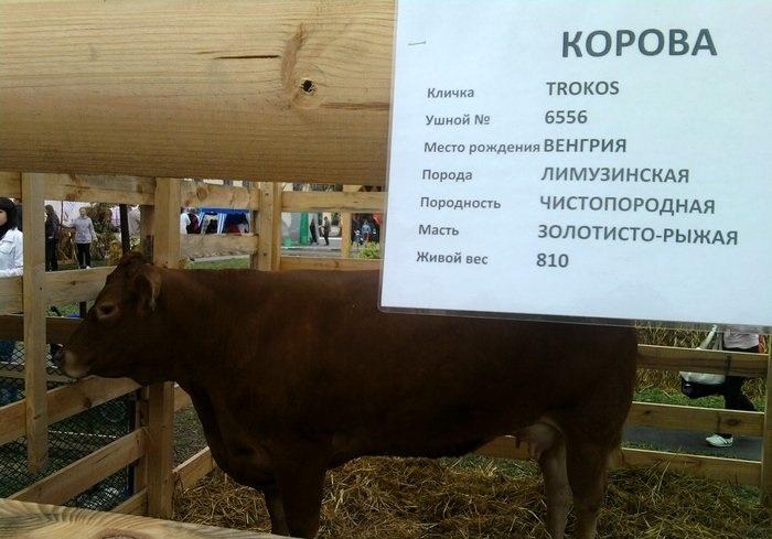 корова Трокос
