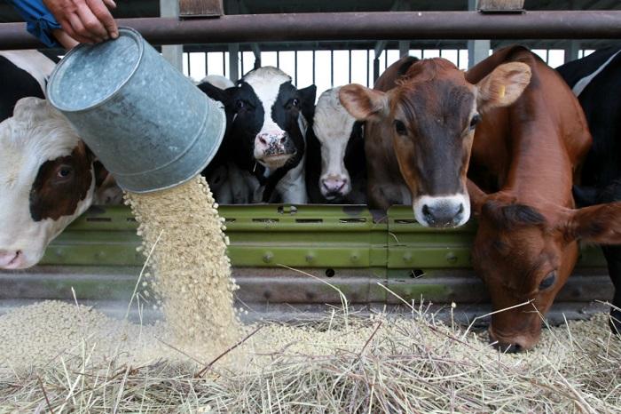 Кормление коров по фазам лактации