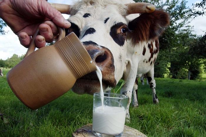 Лактация коров