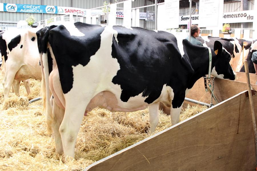 Особенности содержания коров голштинской породы