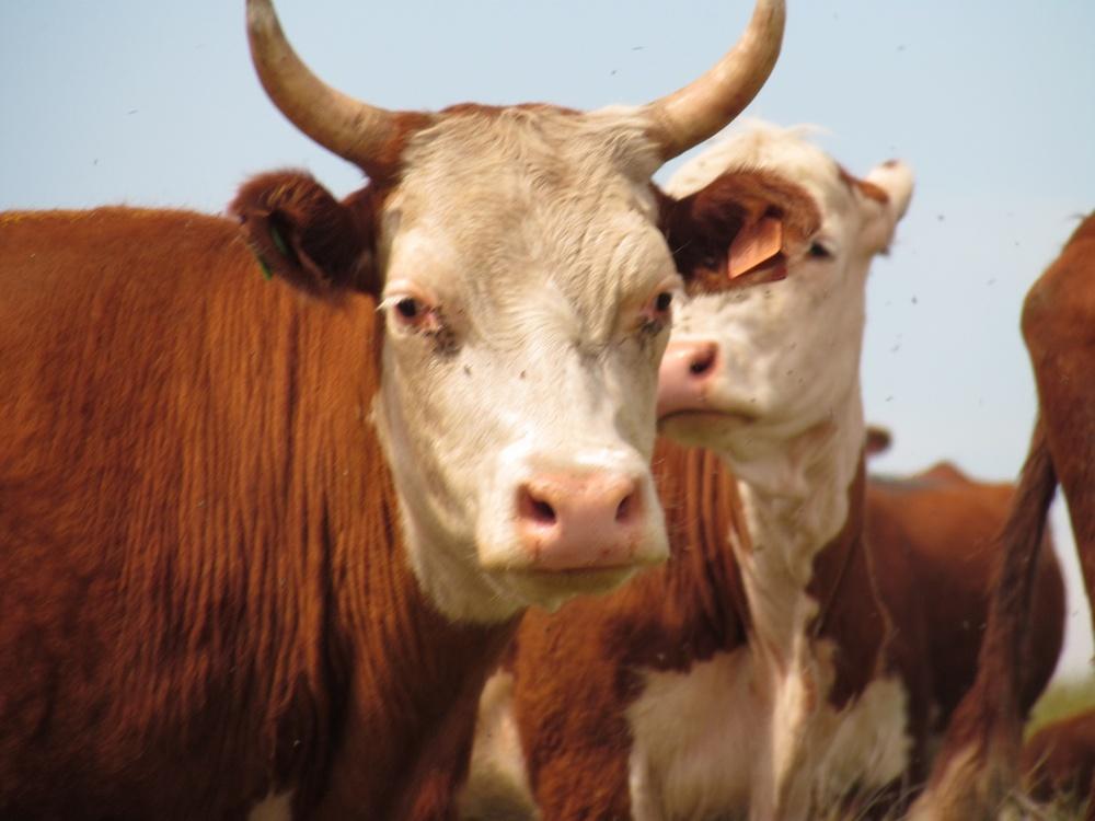 Рогатый тип казахской белоголовой породы коров