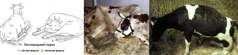Послеродовой парез у коровы