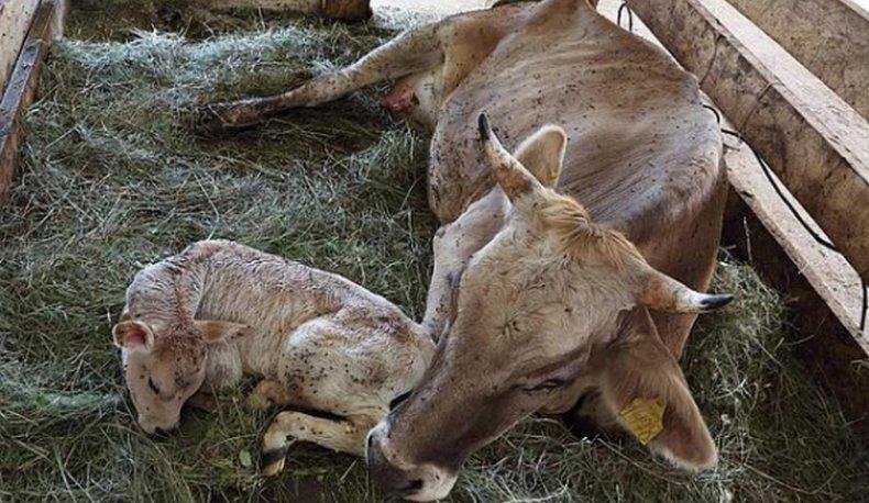 Новорожденный теленок с коровой