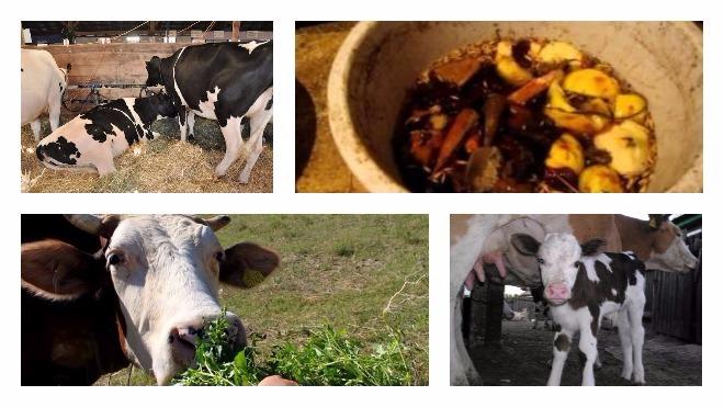 Правильный запуск коровы перед отелом