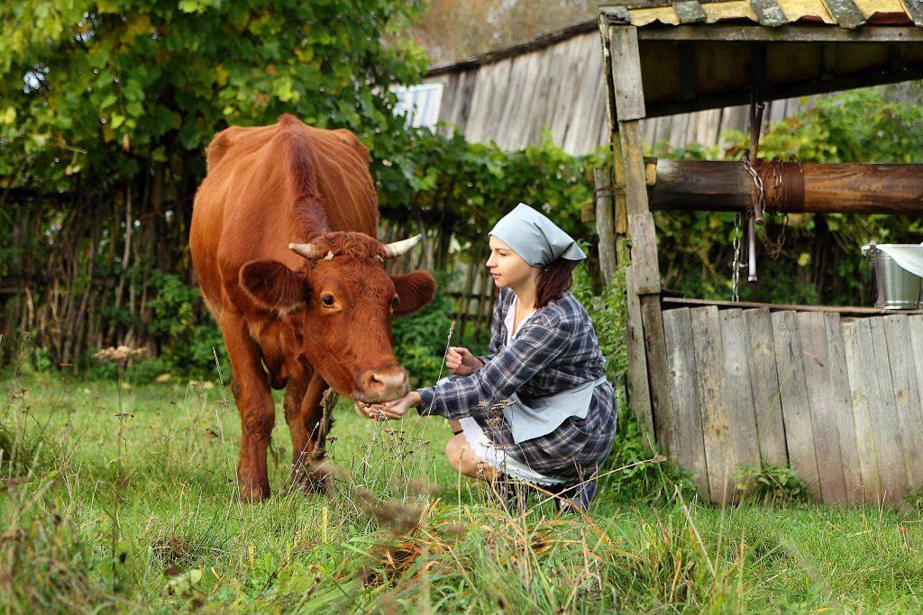В домашних условиях продолжительность жизни коров дольше