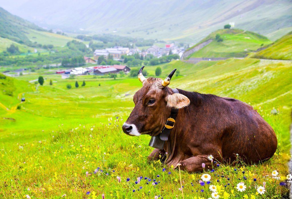 Продолжительность жизни коров