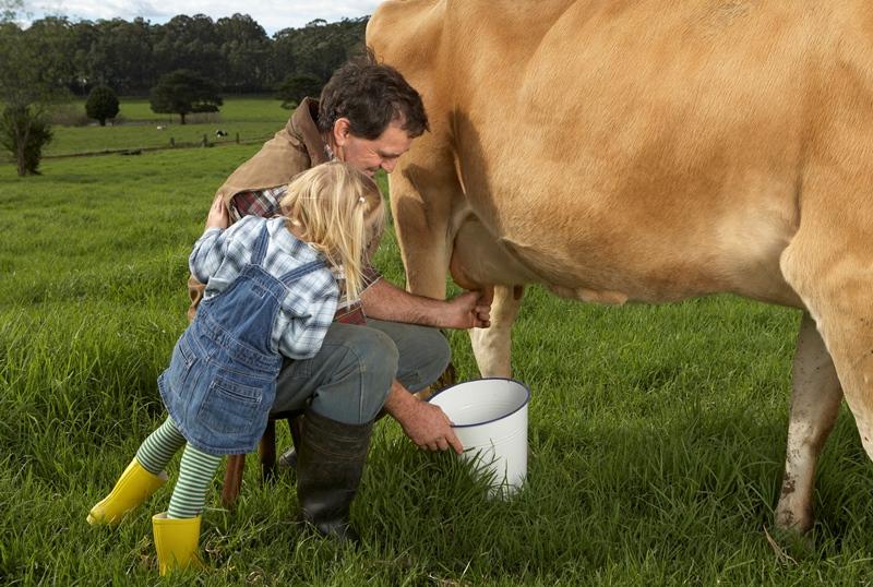 Фермер с дочерью доят корову