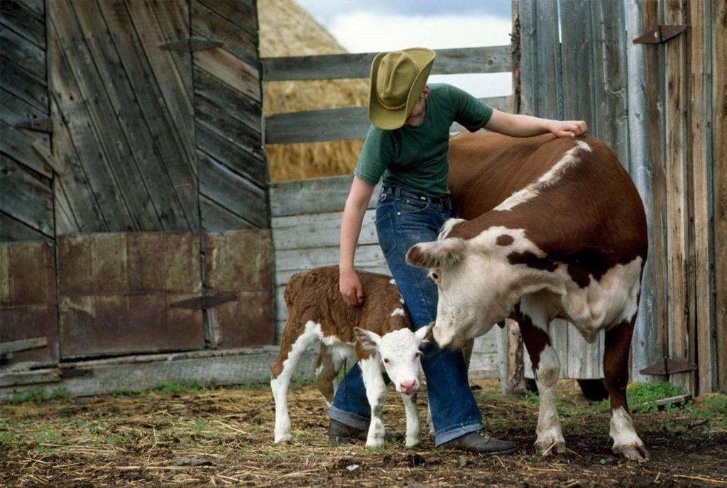 Коровы очень чувствуют человеческое отношение к себе