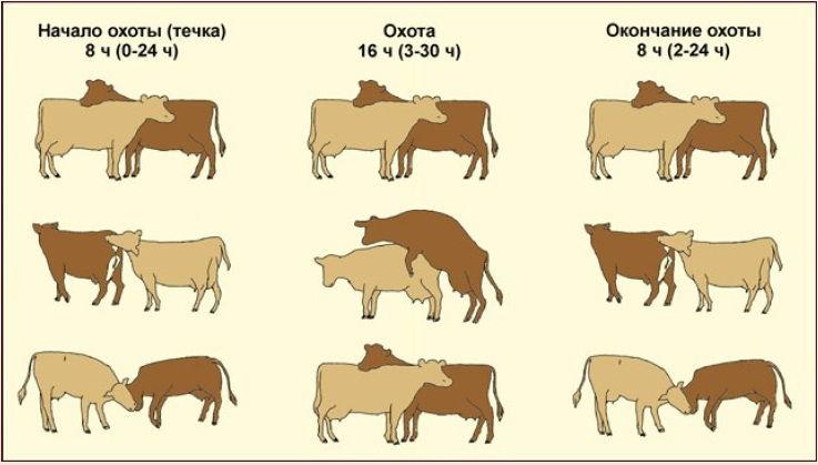 Длительность охоты у коров