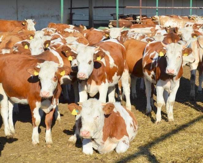 Симментальская порода коров – оптимальный выбор для любого фермера