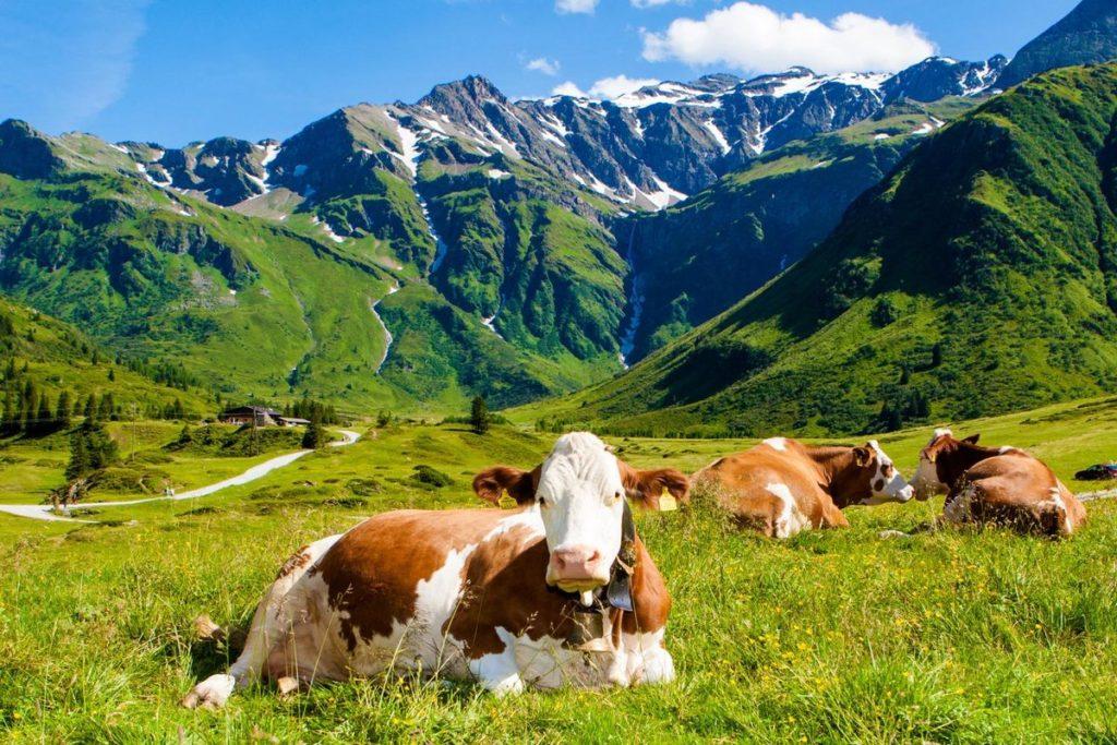 Швейцария – родина симментальской породы