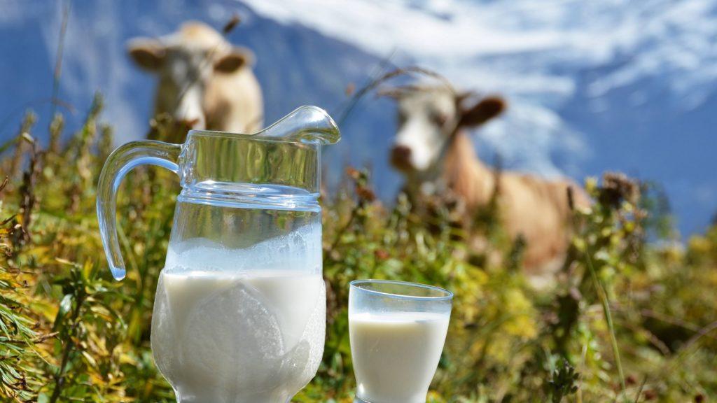 Симментальская корова может дать 5-5,5 тыс. л молока в год