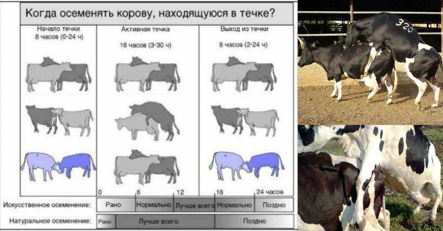 Выбор момента искусственного осеменения коров