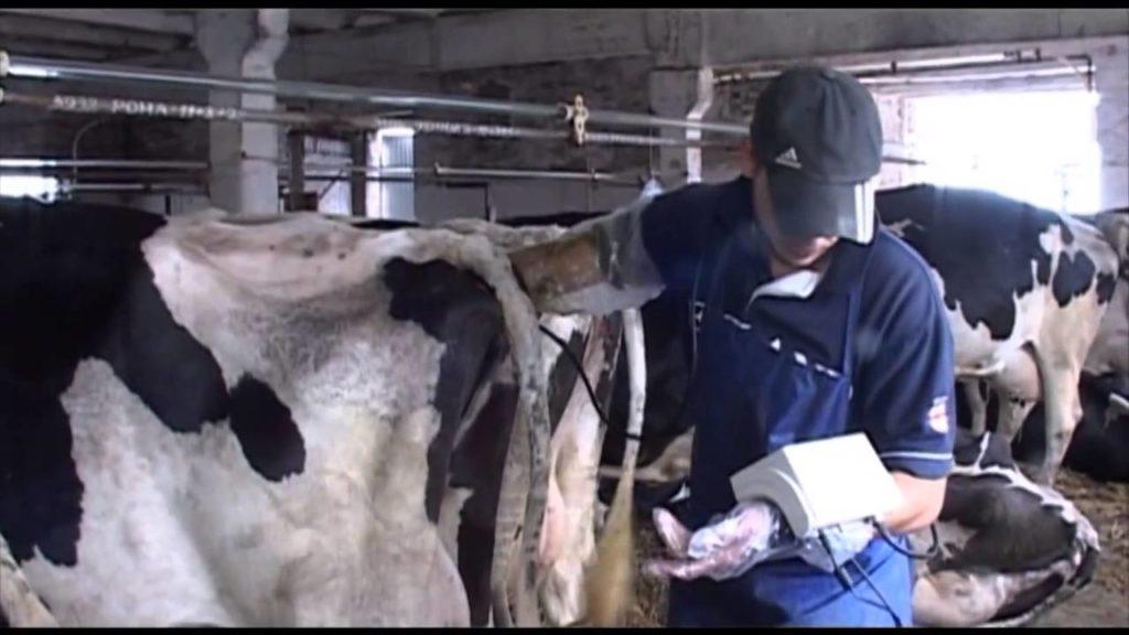 Ректальное обследование коров