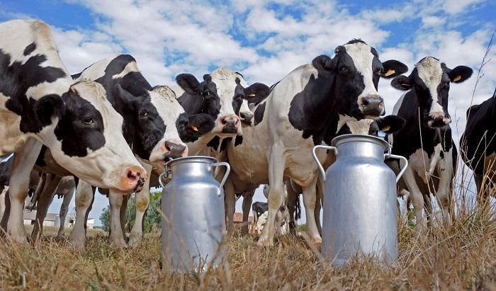 Черно-пестрые коровы и бидоны с молоком