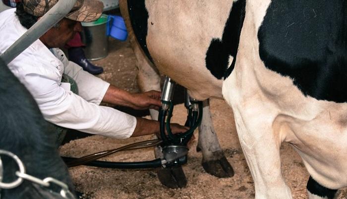 Аппаратное доение коровы