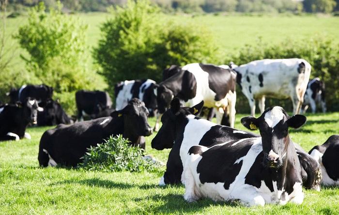 Черно-пестрые коровы отдыхают на лугу