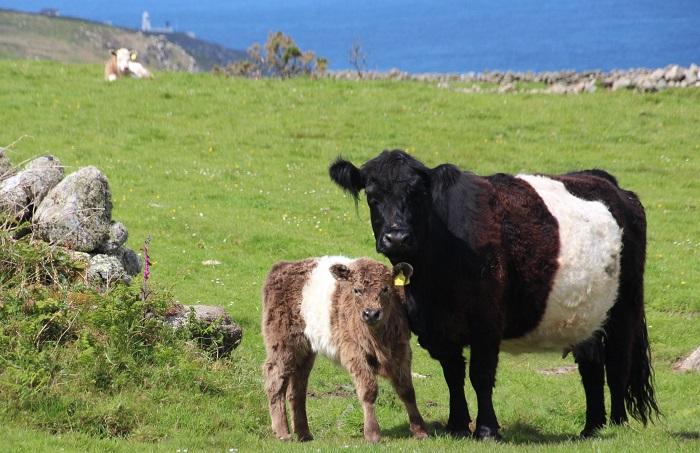 Галловерская корова и теленок