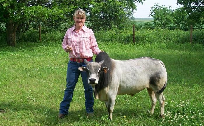 Карликовая горбатая корова