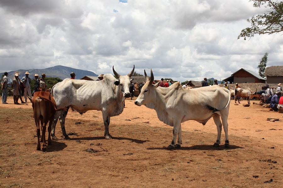 Индийские горбатые коровы