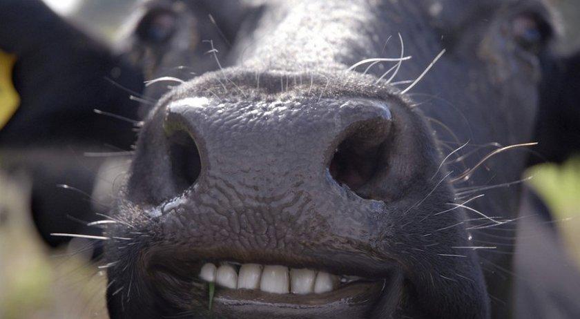 Возраст коровы по зубам