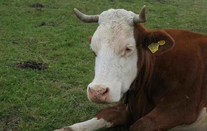 Взрослая корова лежит на траве